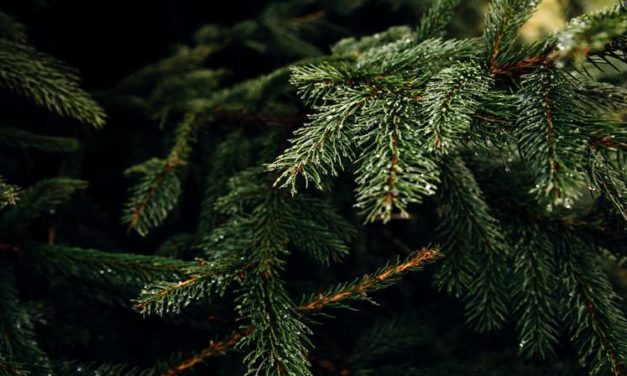 Christmas Trees in Boston: Where to Buy or Cut Your Own Fresh Tree